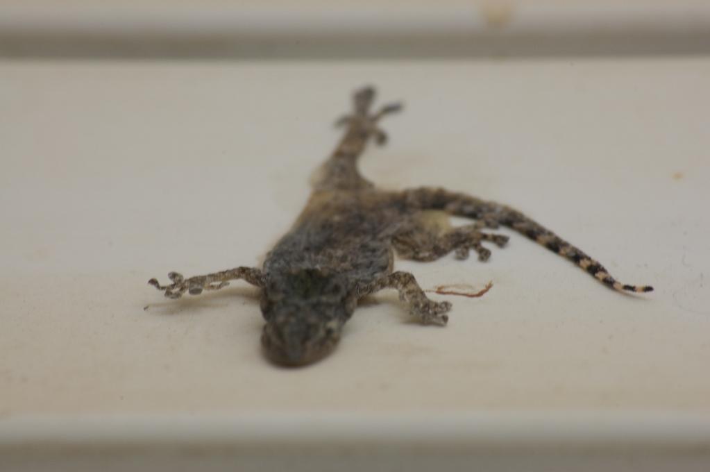 Choff – salamandra aplastada