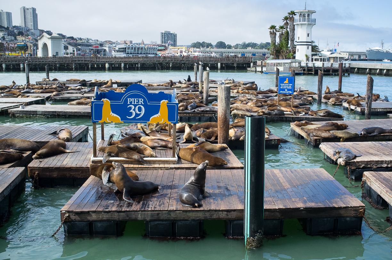 Los leones marinos del muelle de San Francisco