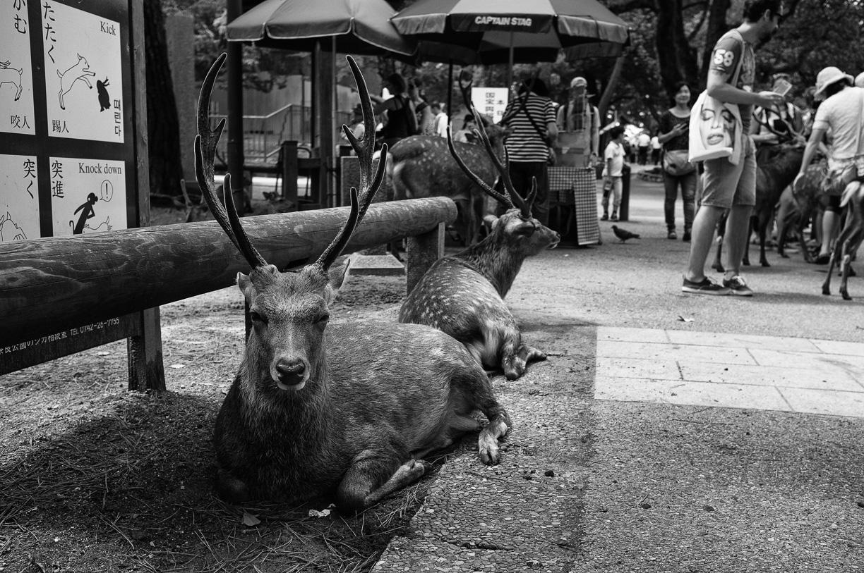 Nara y sus Ciervos (Parte II) – Japón
